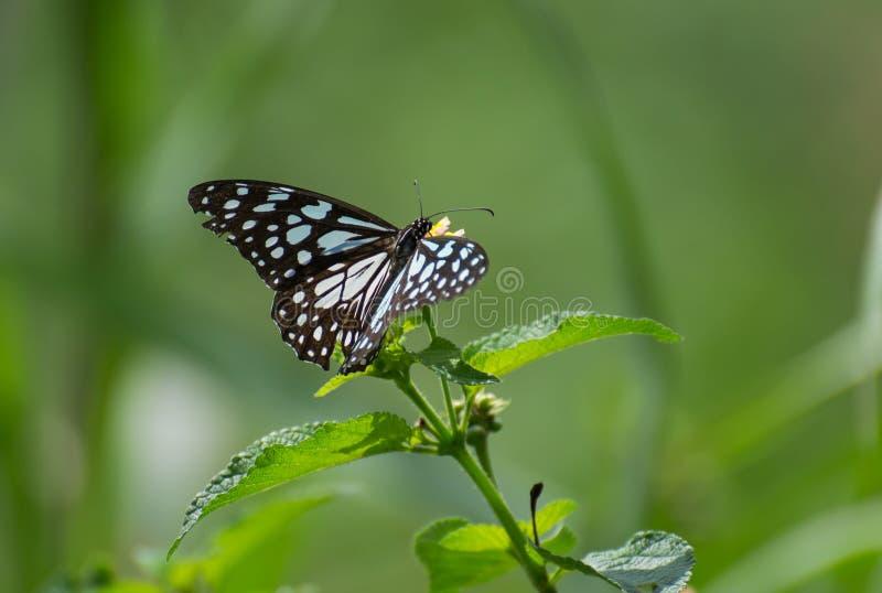 Fjäril på lantanaväxten royaltyfri fotografi