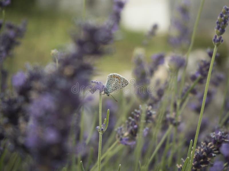 Fjäril på lavendel arkivbilder