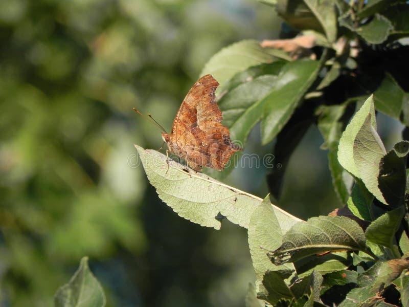 Fjäril på leafen arkivbild