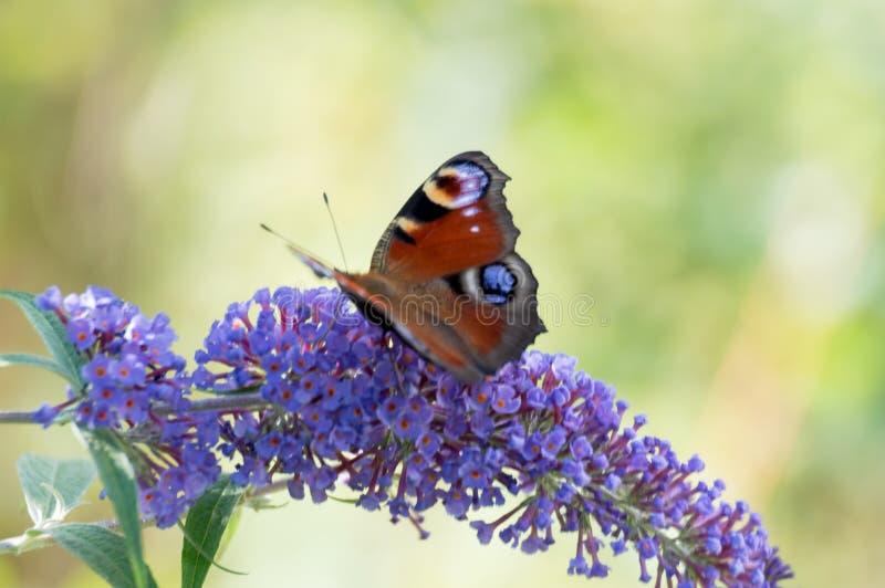 Fjäril på lila arkivbilder