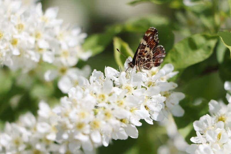 Fjäril på a på blommor av en hägg royaltyfria foton