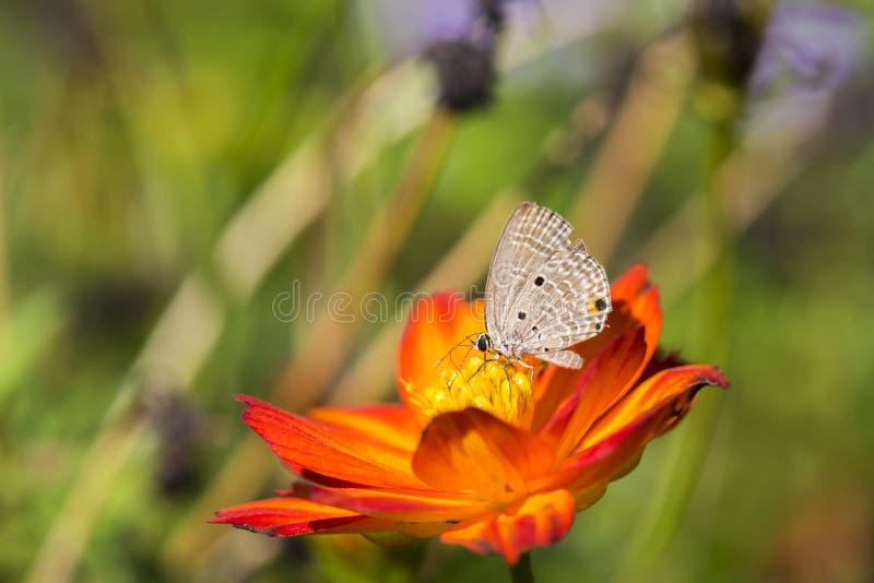 Fjäril på röd blomma royaltyfria foton