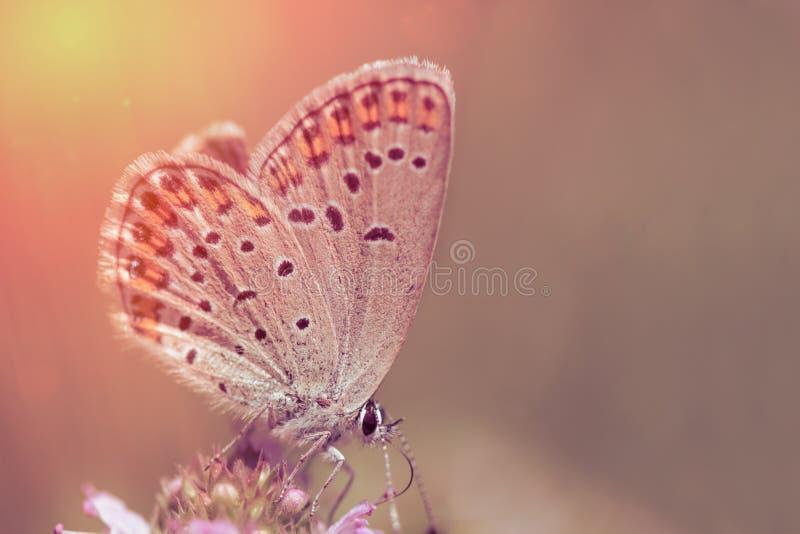 Fjäril på rosa färgblomma royaltyfri fotografi