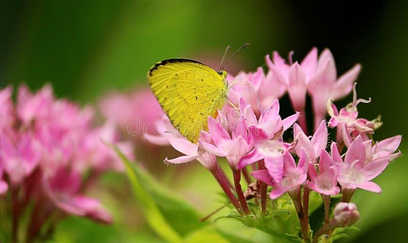 Fjäril på rosa färgblomma arkivbilder