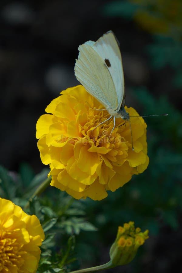 Fjäril på tageteblomman royaltyfria foton