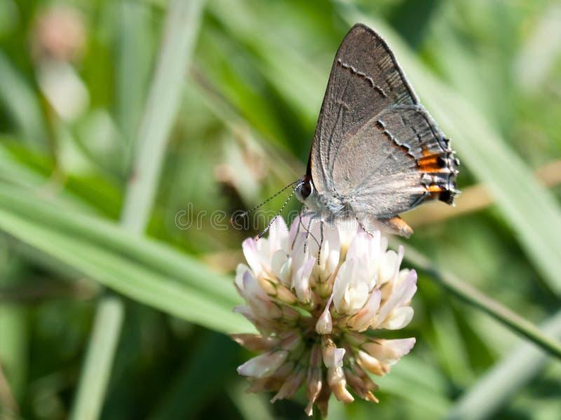 Fjäril på växt av släkten Trifolium royaltyfri foto