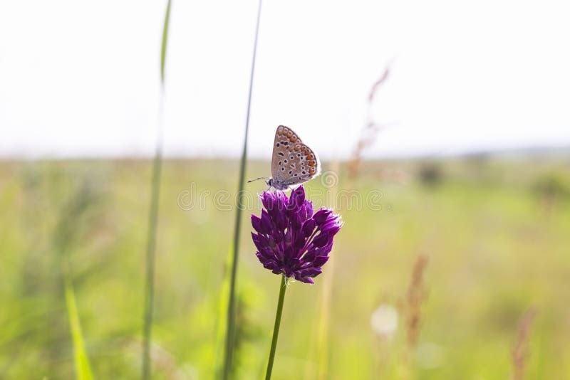 Fjäril Plebejus argus på blomman av rosa växt av släktet Trifolium i ängsommardag Silver-dubbad blå Plebejus argyrognomonfjäril royaltyfri fotografi