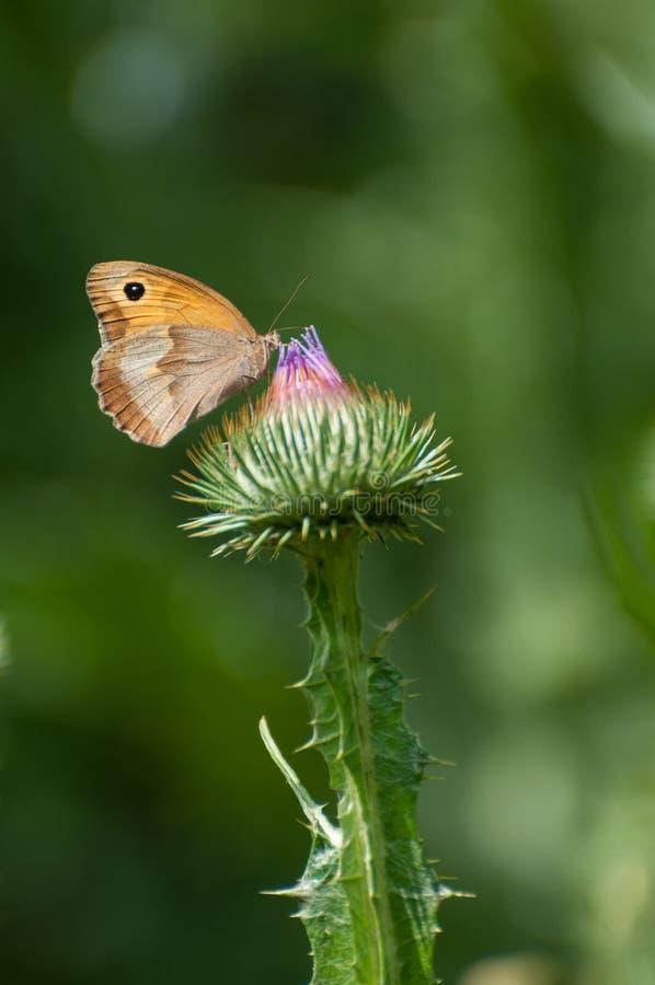 Fjäril som besöker en blommande tistel royaltyfria foton