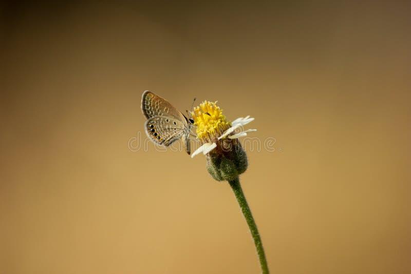 Fjäril som isoleras beautifully på en gul blomma som dricker nektar liten fjäril som hjälper i pollination royaltyfri bild