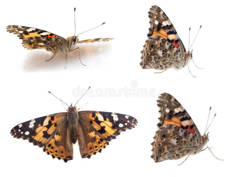 Fjäril som isoleras på vit royaltyfria foton