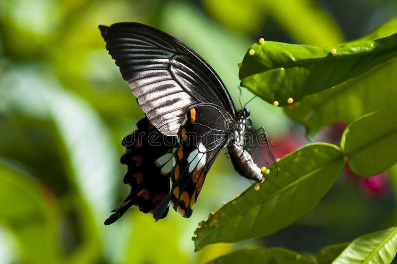Fjäril som lägger ägg arkivfoto