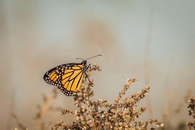 Fjäril som sätta sig på torkade blommor royaltyfria bilder