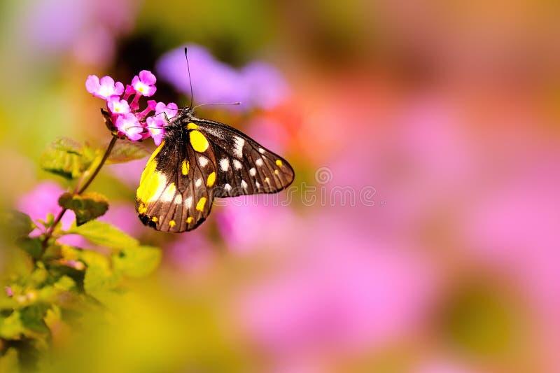 Fjäril som vilar på en rosa Lantanablomma under varmt solljus royaltyfri fotografi