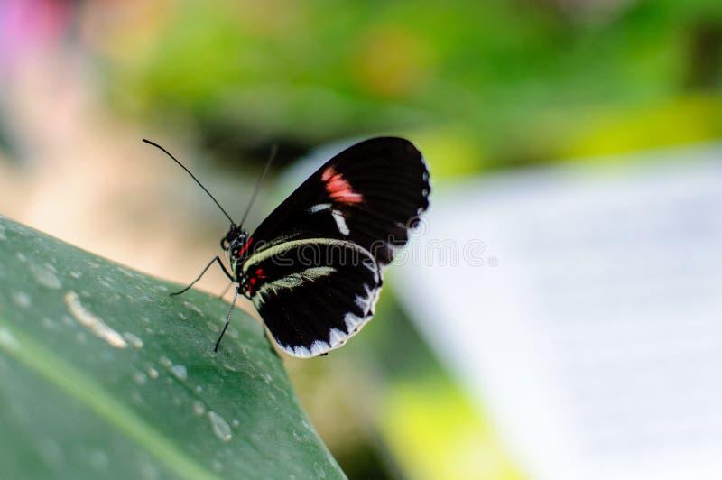 Fjäril Stor fjäril som sitter på gröna sidor, härligt kryp i naturlivsmiljön, arkivbilder