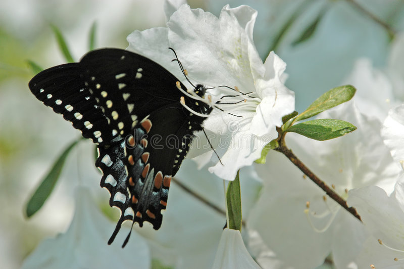 fjäril xii arkivfoto