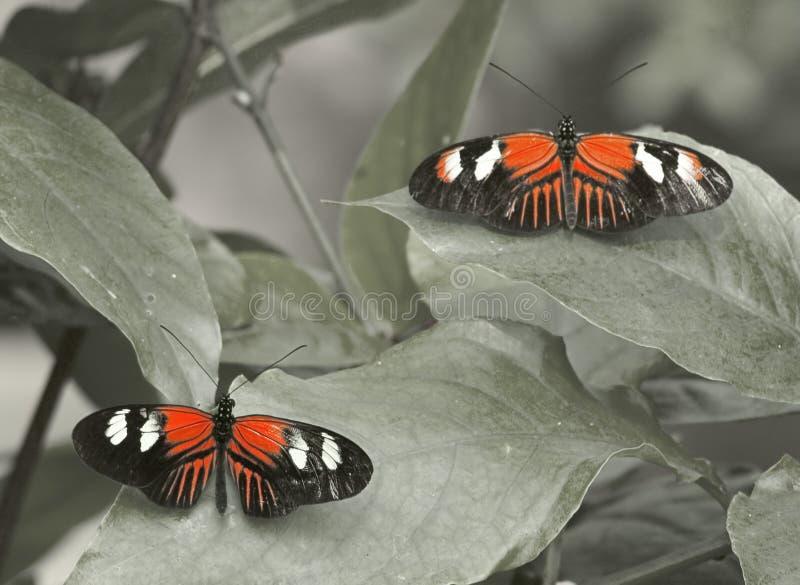 Download Fjärilar fotografering för bildbyråer. Bild av fjäril, angus - 277783