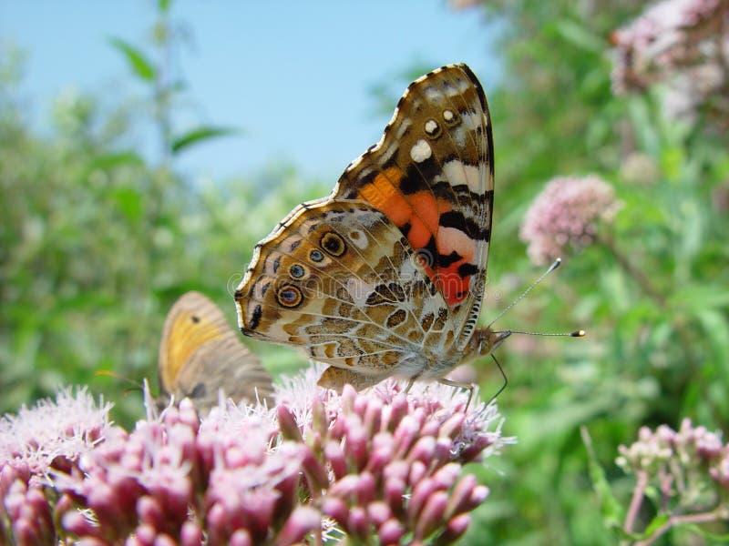 Fjärilar betar på royaltyfria foton
