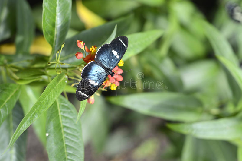 Fjärilar Ecuador arkivbilder