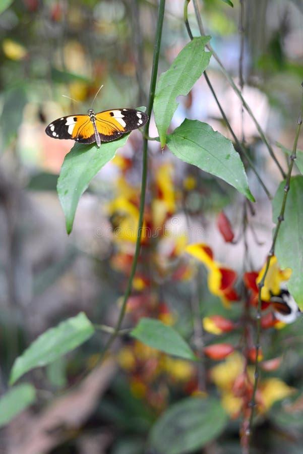 Fjärilar Ecuador royaltyfri bild