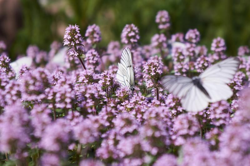 Fjärilar för vit kål på timjan arkivfoto