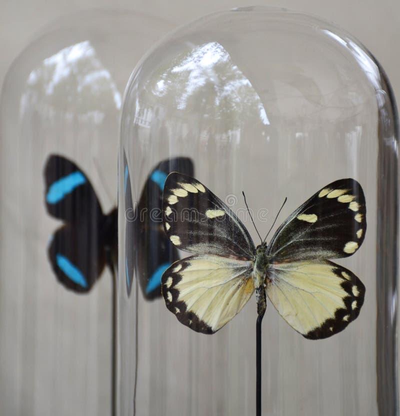 Fjärilar i en genomskinlig klockakrus arkivfoto