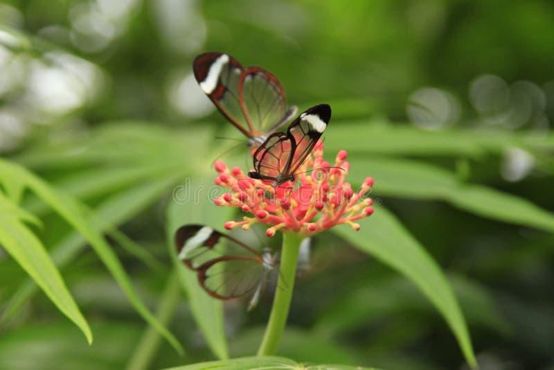 Fjärilar med genomskinligt arkivfoton