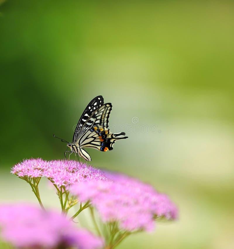 Fjärilar och blommor royaltyfria foton