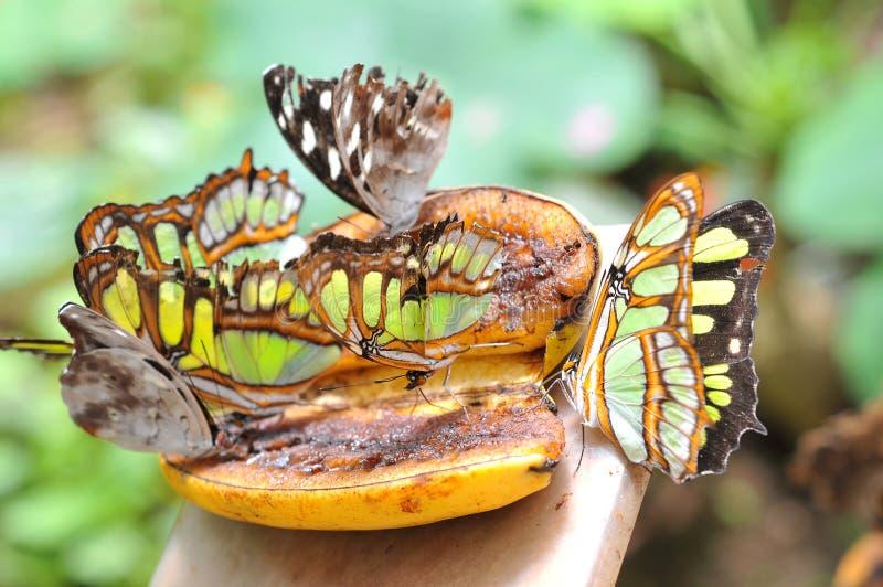Fjärilar på bananen royaltyfri foto