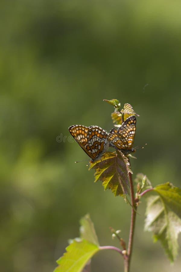 Fjärilar på den sandiga kusten fotografering för bildbyråer