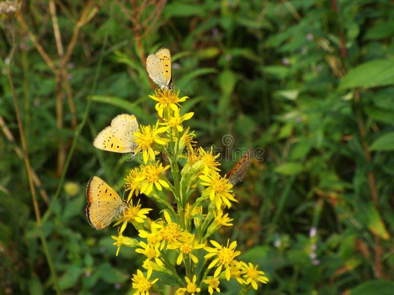 Fjärilar pollinerar gula blommor i ängen royaltyfria foton