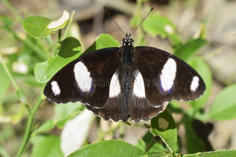 Fjärilar söker efter honung i morgonen arkivfoton