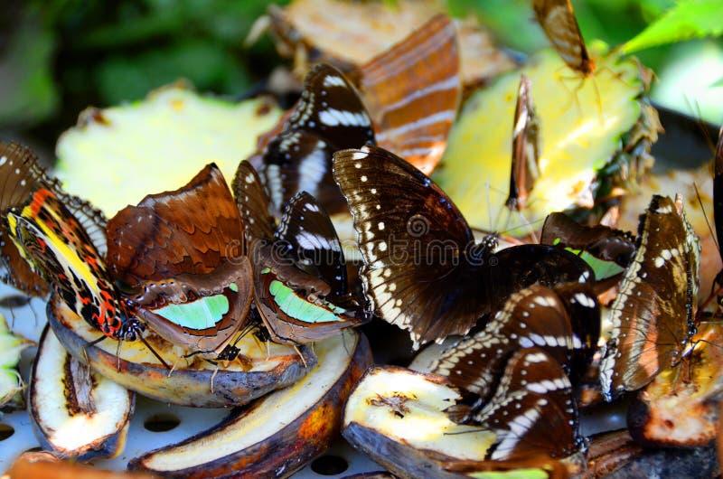 Fjärilar som äter frukt fotografering för bildbyråer