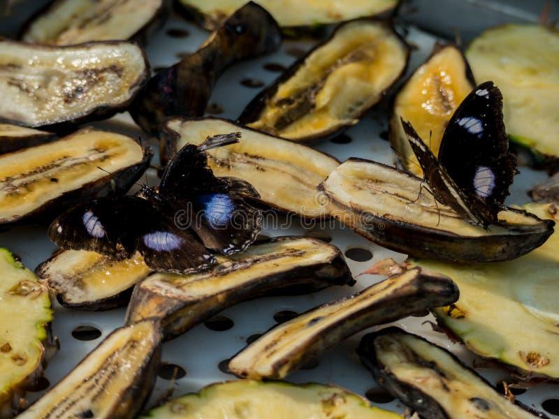 Fjärilar som matar på en banan fotografering för bildbyråer