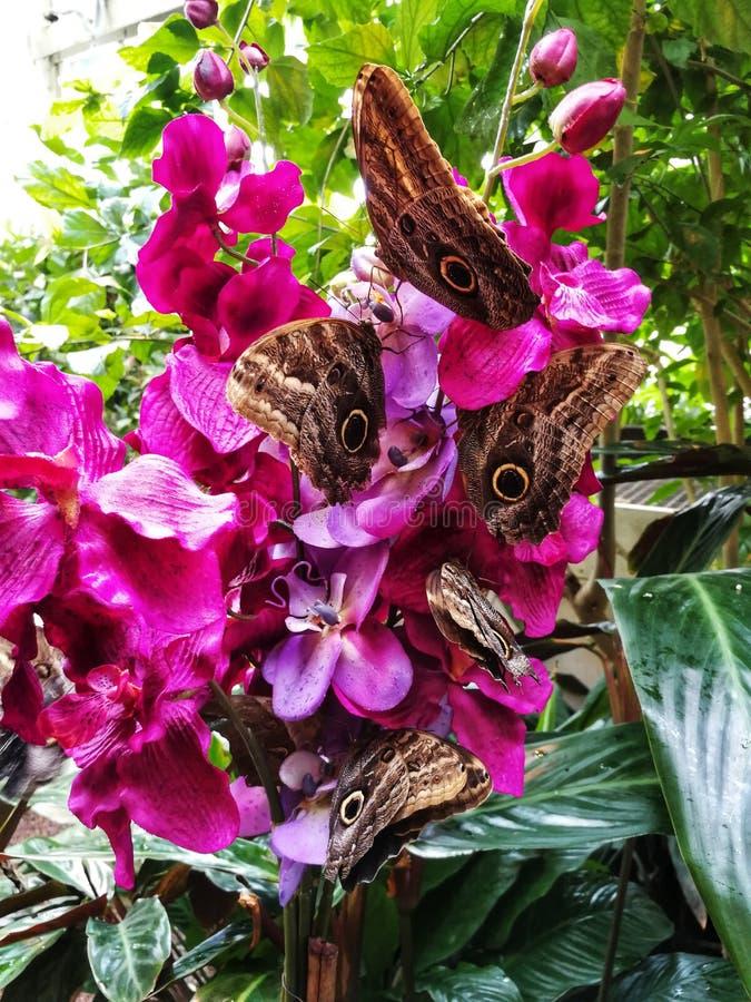 Fjärilar som sitter på orkidéfilialen royaltyfria foton
