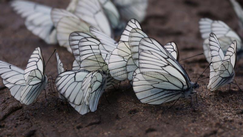 fjärilar veined white för aporia svart crataegi arkivfoton