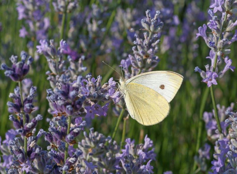 fjärilen blommar lavendel arkivfoton