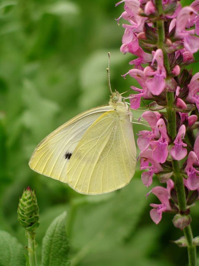 Download Fjärilen blommar pink arkivfoto. Bild av fjärilar, krämigt - 45180