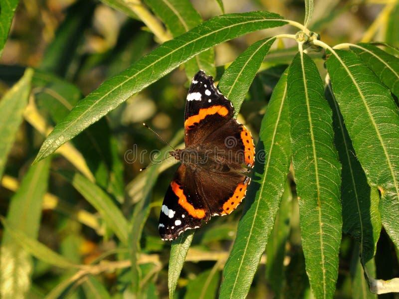 Fjärilen för mörk brunt med orange band i form av en cirkel på vingarna sitter på de smala sidorna av busken royaltyfri fotografi