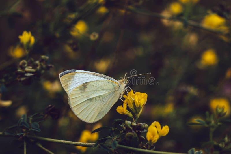 Fjärilen för vit kål sitter på en gul blomma på en suddig bakgrund Pierisrapae från familjPieridae Vita texturerade vingar royaltyfri foto