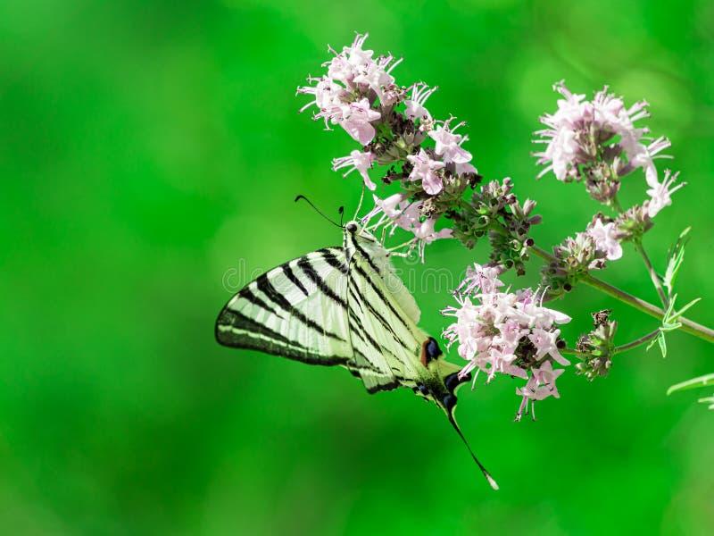 Fjärilen isolerade på grön bakgrund begrepp isolerad naturwhite knapp swallowtail f?r iphiclidespodalirius royaltyfri foto