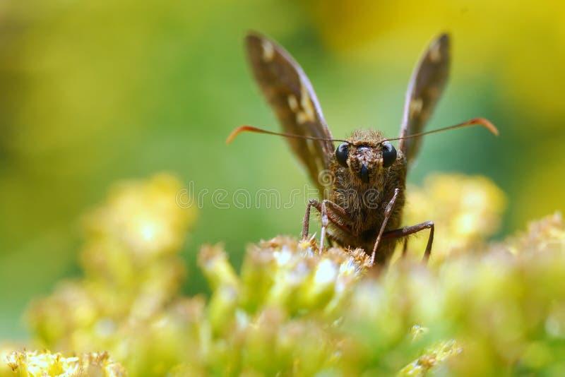 Fjärilen på guling blommar att stirra på dig fotografering för bildbyråer