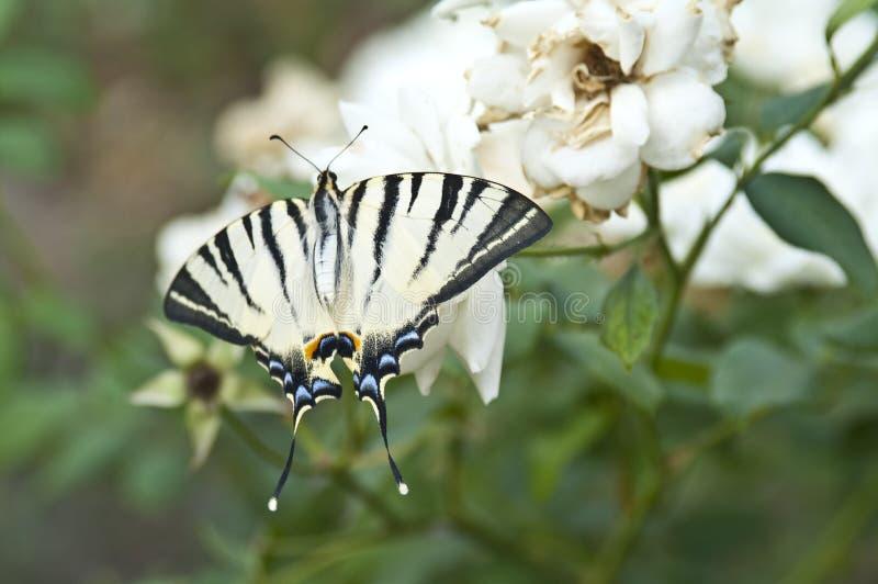 Fjärilen Papilio Machaon på ett vitt steg royaltyfri fotografi