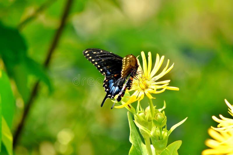 Fjärilen svart Scissor svansen, blåa viktig på vingar royaltyfri foto