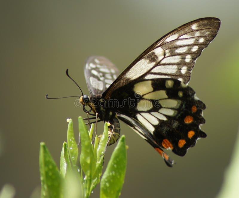 Fjärilsägg royaltyfri bild