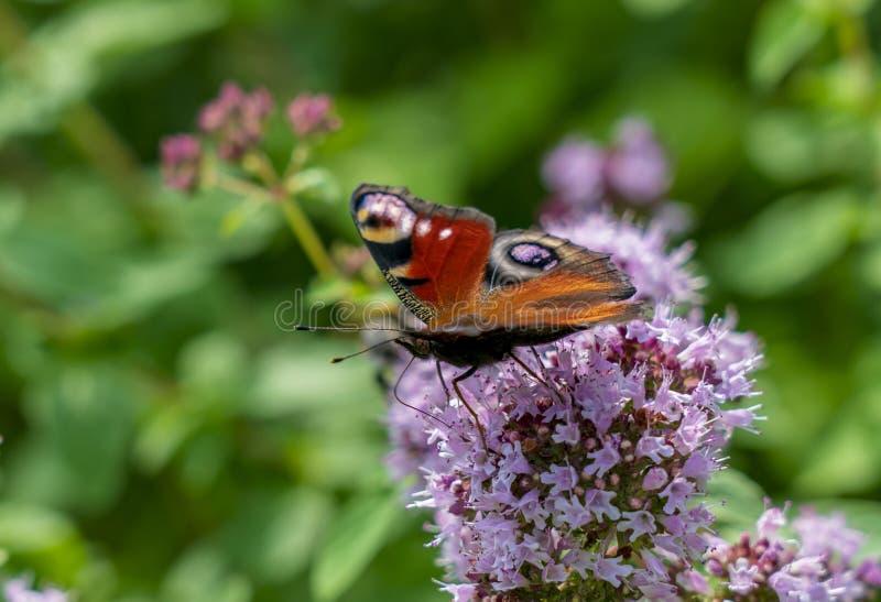 Fjärilsaglais io sitter på de fluffiga blommorna av verbena och att blomma i parkera eller i fältet arkivfoto