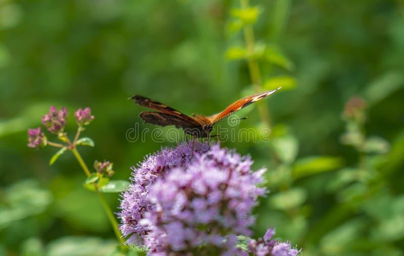 Fjärilsaglais io sitter på de fluffiga blommorna av verbena och att blomma i parkera eller i fältet royaltyfri bild