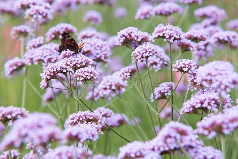 Fjärilsaglais io sitter på verbenablommor royaltyfri foto