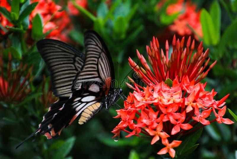 Fjärilsallmänningen steg Pachliopta aristalochiae som flyger runt om den Ixora för djungelflammabusken javanicaen på den tropiska royaltyfria bilder