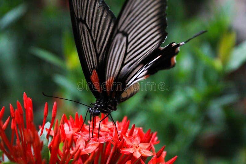Fjärilsallmänningen steg Pachliopta aristalochiae som flyger runt om den Ixora för djungelflammabusken javanicaen på den tropiska fotografering för bildbyråer