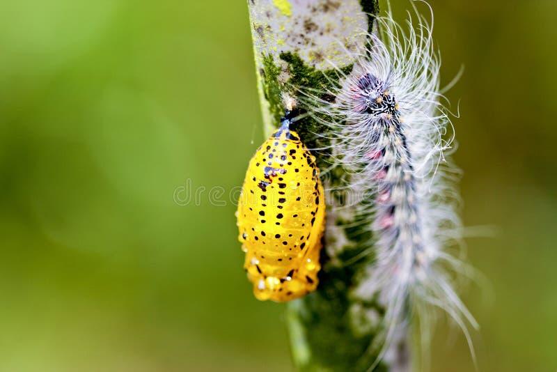 fjärilschrysalis royaltyfri fotografi